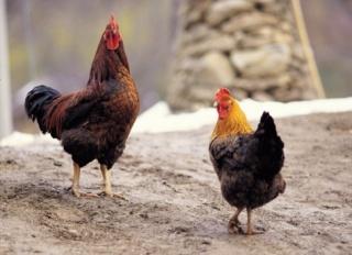 Úgy tűnik, sikerül megállítani a madárinfluenza terjedését