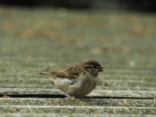A falusi veréb is madár