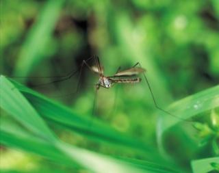 Természetes szúnyogriasztás