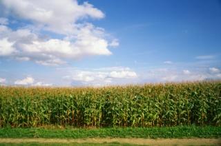 Mi a baj a génmódosított növényekkel?