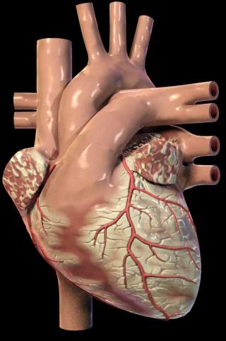 Elhízott szívvel nagyobb az infarktus kockázata
