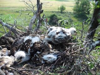 Miért lett az egerészölyv a 2012-es év madara?