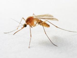Rendkívül agresszív szúnyog jelent meg Magyarországon