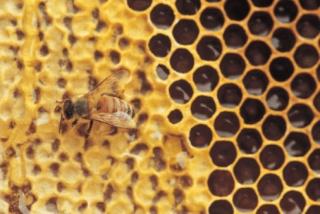 Bizonyos mézfajták hatékonyabbak az antibiotikumoknál