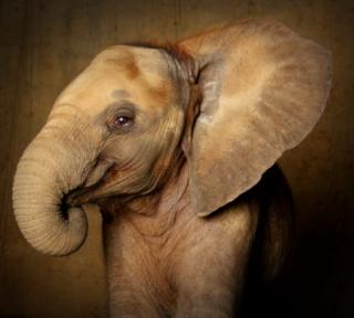 Elefántokat fogyasztanak Indiában