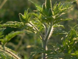 Új módszer a parlagfű ellen: így győzhetjük le az allergiát