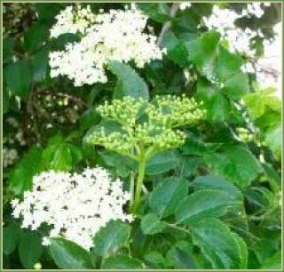 Egy finom gyógynövény: a fekete bodza