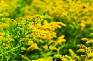 A hónap gyógynövénye: az aranyvesszőfű