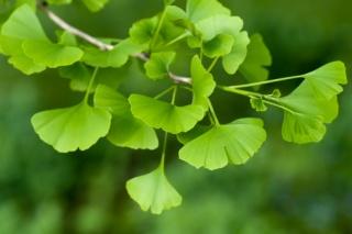 Egy csodálatos növény: a ginkgo