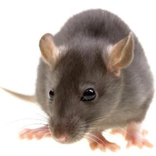 Sikerült visszafordítani az Alzheimer-kórt egereknél