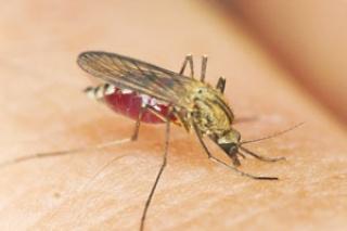 A szúnyogcsípések helyes kezeléséről