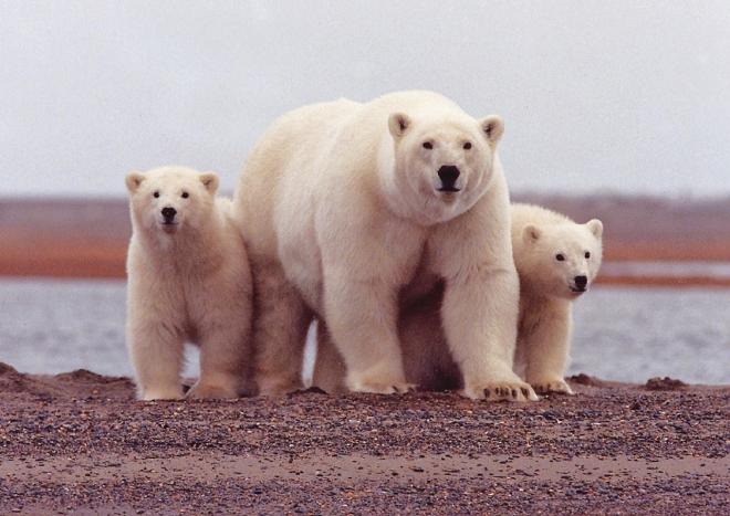 Mennyit csökkent a jegesmedvék élettere két évtized alatt?