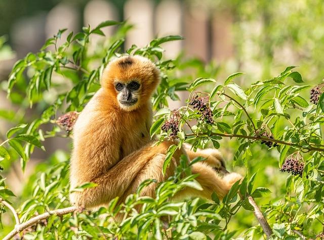 Új remény a legveszélyeztetettebb főemlősfaj fennmaradására