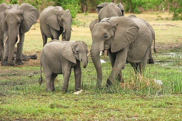 Két hónap alatt több mint 350 elefánt múlt ki Dél-Afrikában