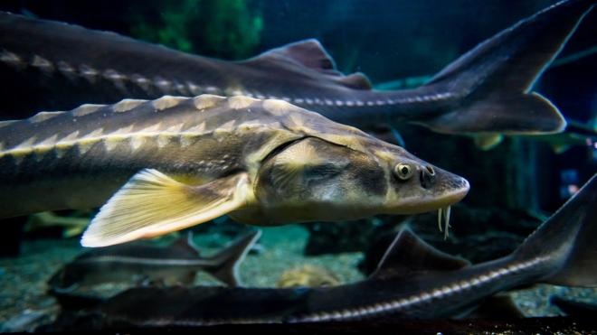 Életképes halhibridet hoztak létre magyar kutatók