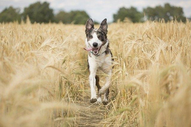 A földi mágneses mező segítheti a kutyákat a tájékozódásban