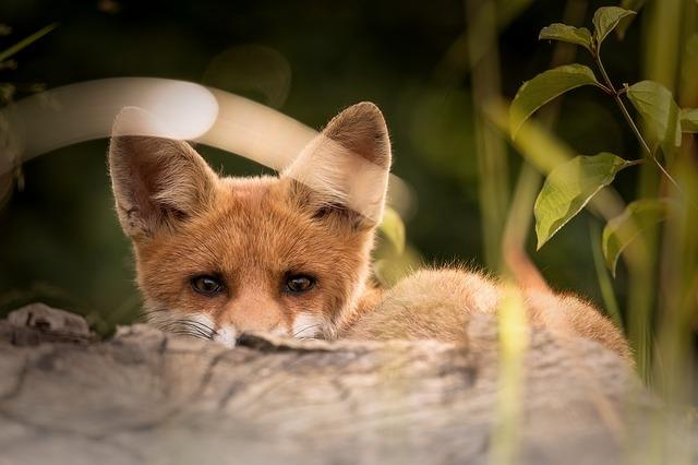 Az ember több tízezer éve hatást gyakorol a rókák életére