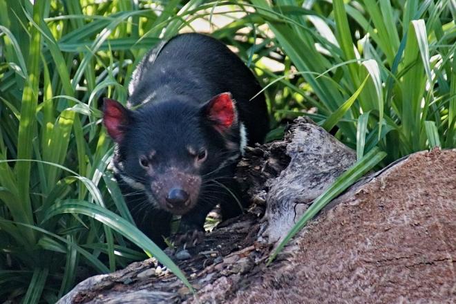 Átadható ráktípust kutatnak a tasman ördögöknél