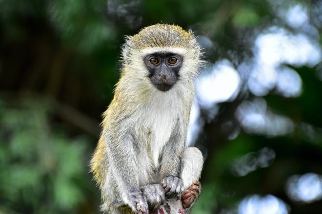 A majmok és a tűz viszonya befolyásolhatta az evolúciót
