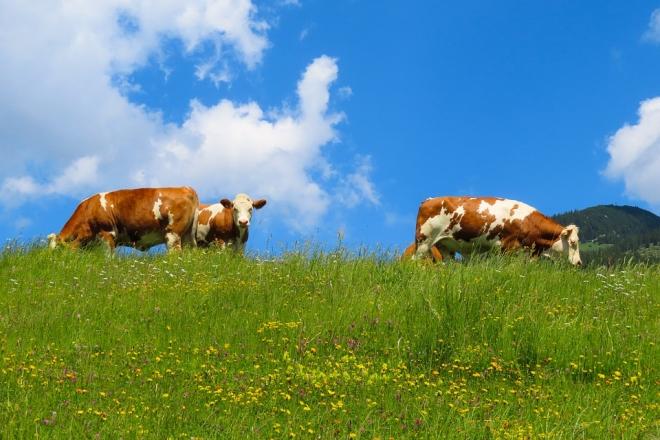 A szarvasmarhák képesek megkülönböztetni a növényeket