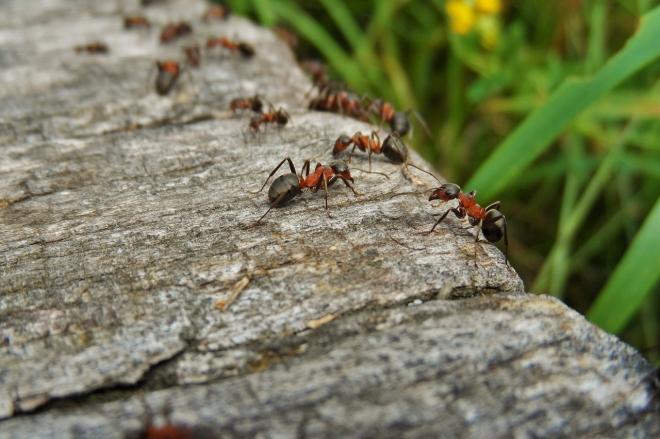 A hangyák eszközhasználatát vizsgálják