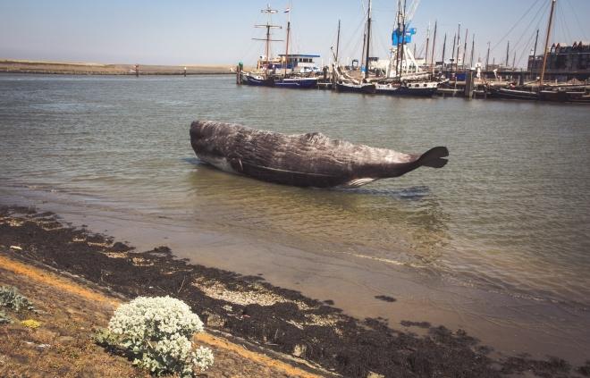 Mégsem a geomágneses mezők okozzák a cetfélék partra vetődését