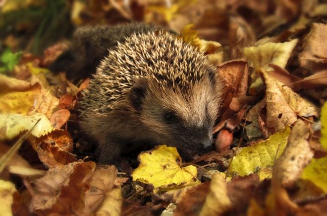 Az őszi kerti munkálatok során vigyázzunk a sünökre!