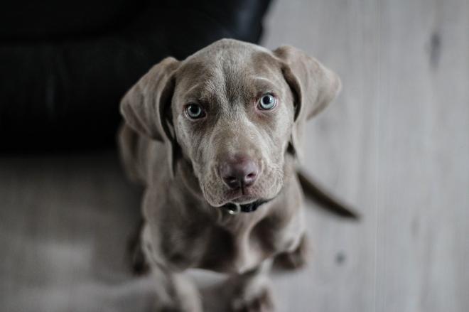 A kutyák hatékonyabbak, mint a PCR-teszt
