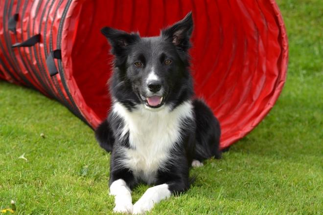 A kutyák szótanulási képességét vizsgálják egy verseny során az ELTE etológusai