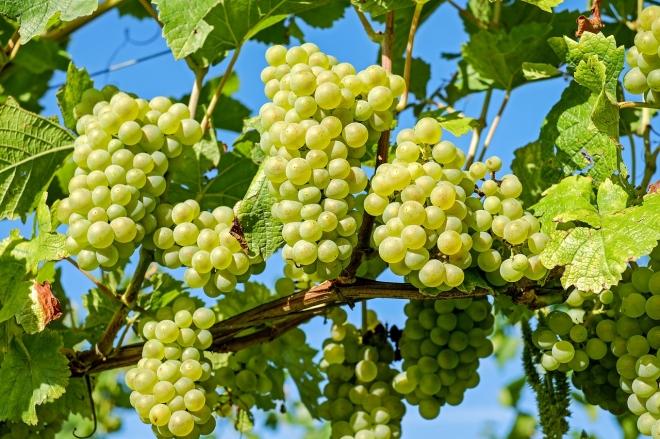 A talajművelés befolyásolja a szőlőtőkék alatti élővilágot