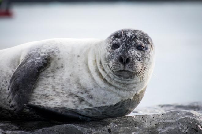 A Weddell-fókák is képesek ultrahangok kibocsátására