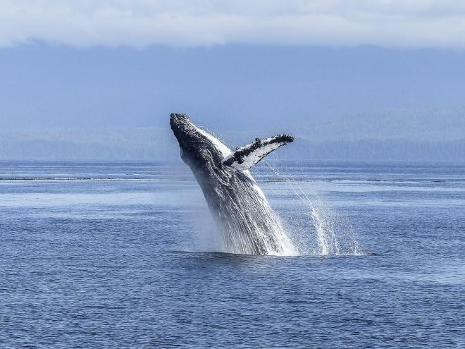 Növekedésnek indultak a bálnapopulációk