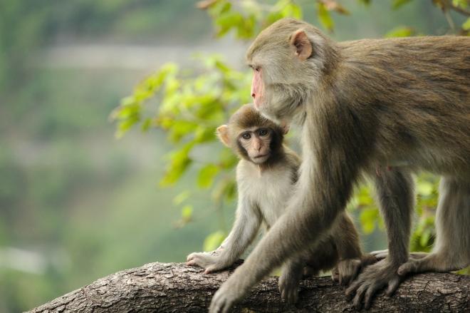 Újabb hasonlóságot mutat a majmok és az emberek viselkedése