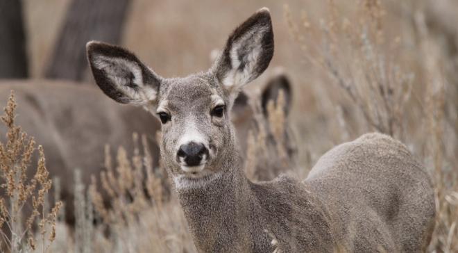 Kerítések keserítik meg a vándorló állatok életét