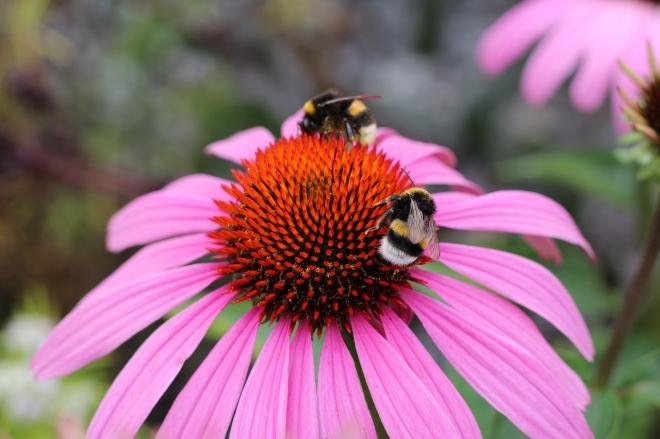 A méhfajok negyede eltűnt a '90-es évek óta