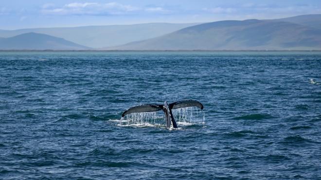 Új bálnafajt azonosítottak az Egyesült Államok partjainál