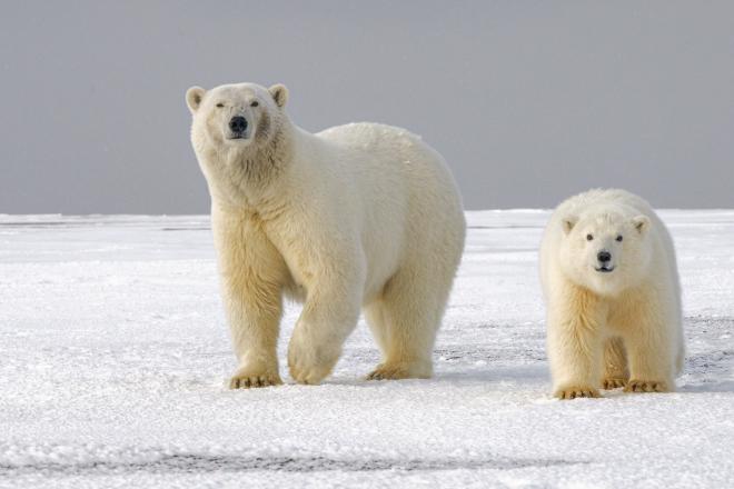 A jégveszteség súlyosan érinti a sarkvidéki állatokat