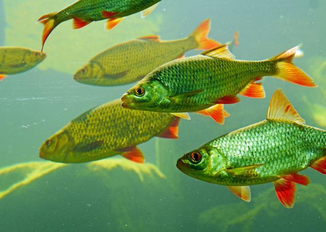 Kipusztulás fenyegeti az édesvízi halfajtákat