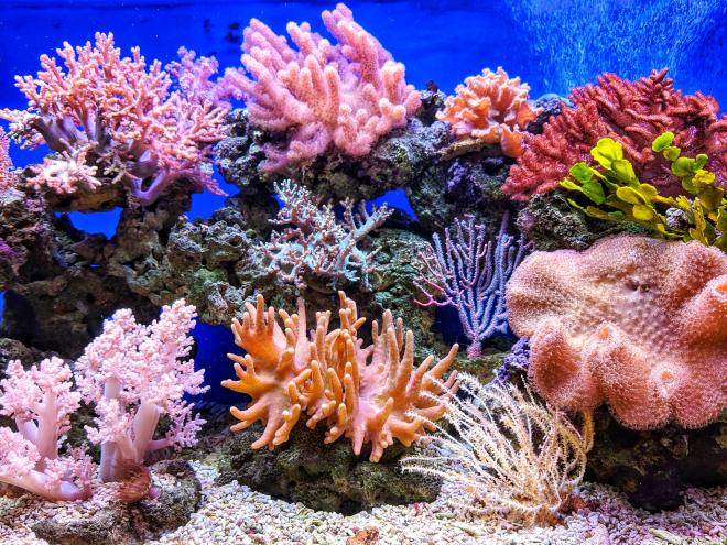 Megbecsülték a korallfajok számát a Csendes-óceánban