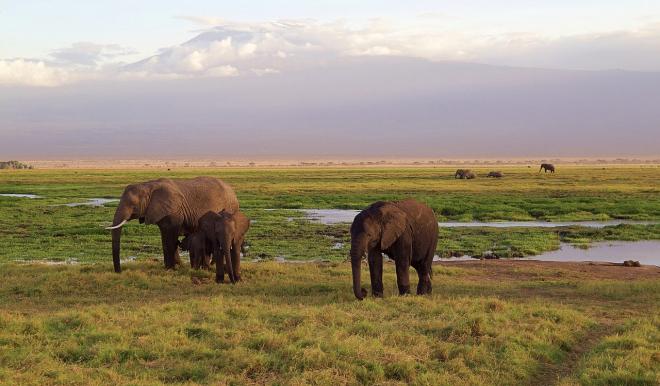 Szűkül az elefántok élettere az avokádótermesztés miatt