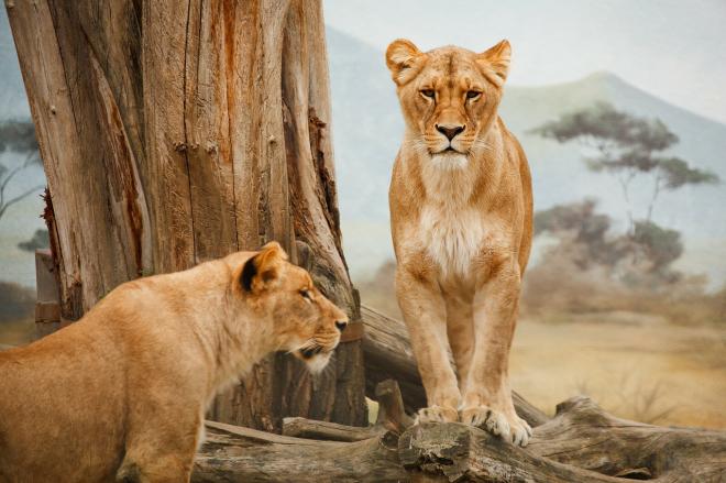 Újabb lépéseket tettek az oroszlánok védelmében