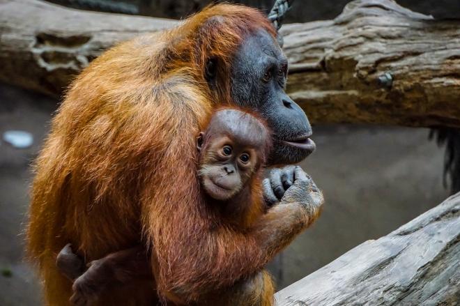 A véltnél nagyobb veszélyben vannak az orángutánok