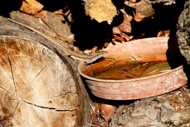 Fali gyík farakásitatón (Fotó: Orbán Zoltán)
